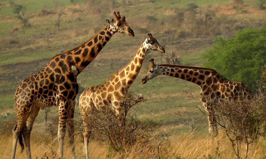 Experience Amazing Wildlife in Murchison Falls National Park